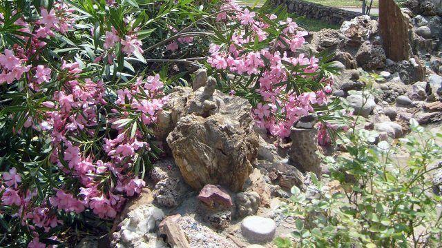 Нежно-розовые цветы в саду камней