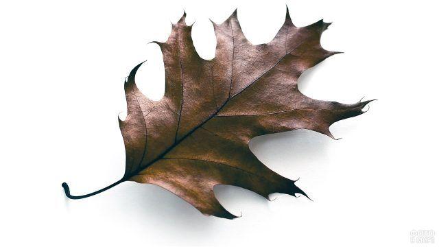 Дубовый лист на белом фоне