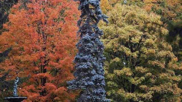Ель между оранжевым и зелёным деревом