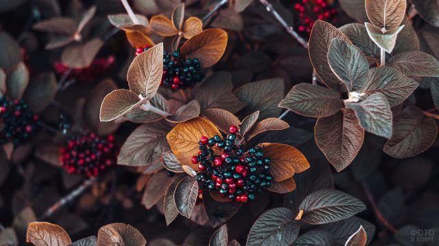 Гроздья ягод в осенних листьях