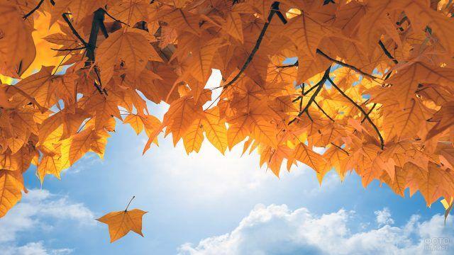 Ярко-жёлтые кленовые листья на фоне голубого неба