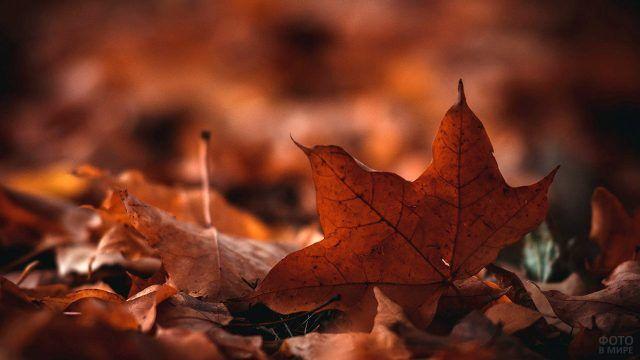 Кленовый лист снятый крупным планом