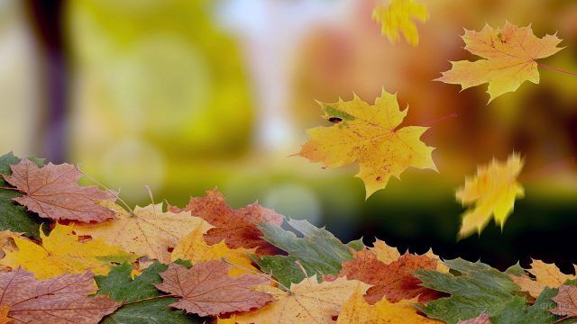 Ковёр из кленовых листьев