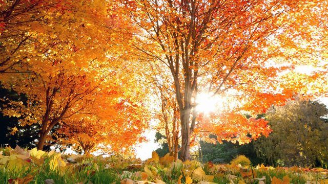 Крона осеннего дерева в лучах солнца