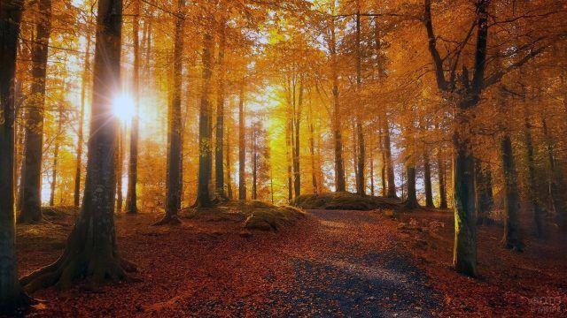 Лучи солнца сквозь стену осеннего леса