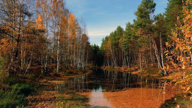 Осенние берёзы роняют листья на воду