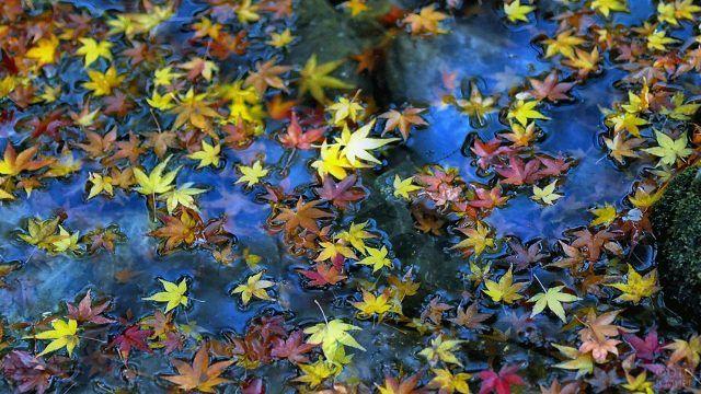 Пёстрые кленовые листья на тёмной воде