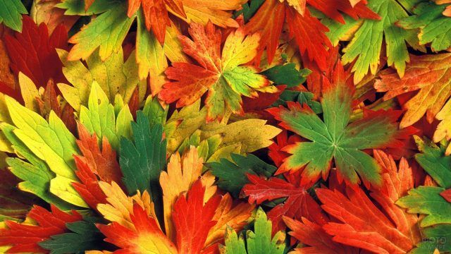 Плотный ковёр из пёстрых кленовых листьев