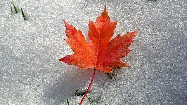 Рыжий кленовый лист на первом снегу