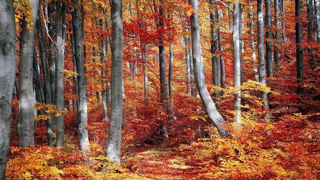 Серебристые стволы деревьев среди осенней листвы