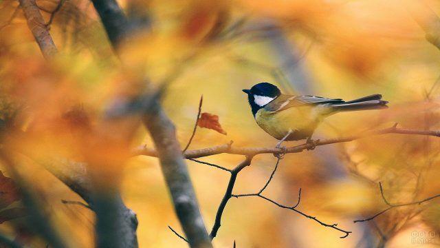Синичка среди жёлтой листвы