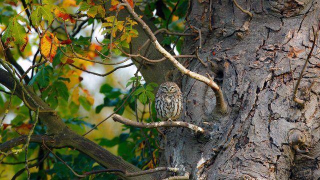 Сова на осеннем дереве
