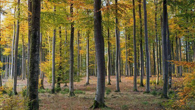 Стройные деревья в осеннем лесу
