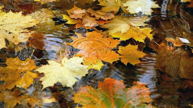 Жёлтые кленовые листья в воде под дождём