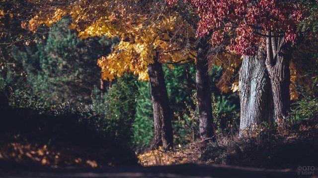 Жёлтый и бордовый дубы в солнечный день