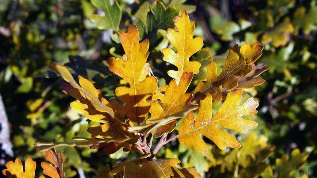 Золотые дубовые листья