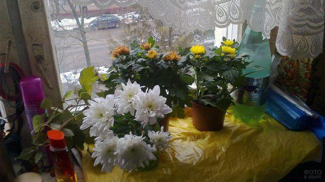 Хризантемы на подоконнике квартиры