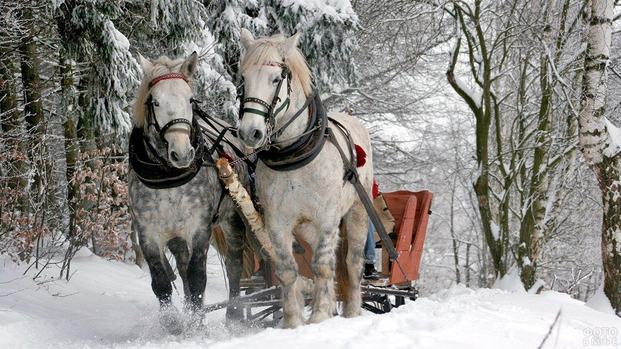 Два коня в яблоках тянут санки по зимнему лесу
