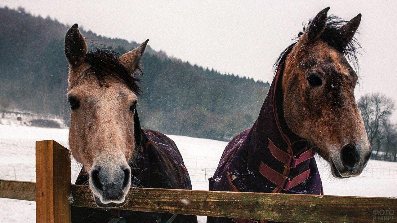 Две лошади в азиатских попонах крупным планом на фоне зимнего пастбища