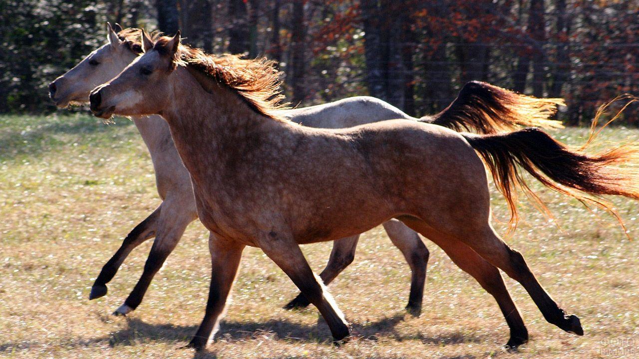 Две скачущие лошади