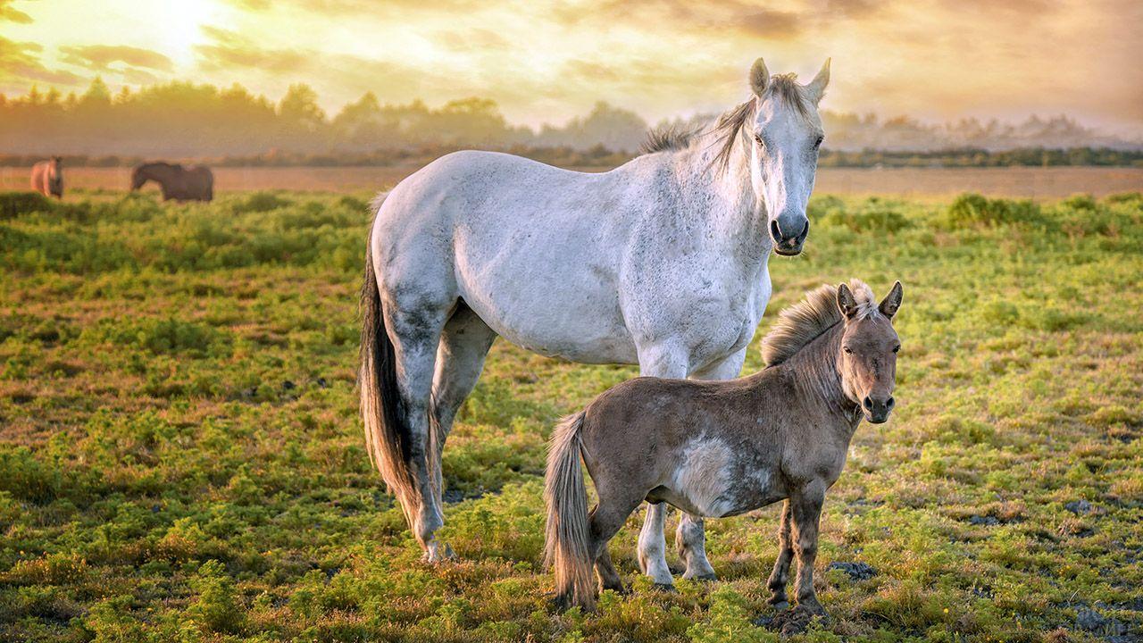 Лошадь с жеребёнком стоят в поле на фоне закатного неба