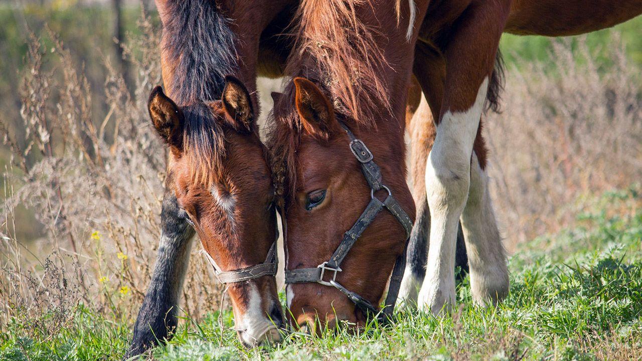 Лошади крупным планом щиплют траву голова к голове