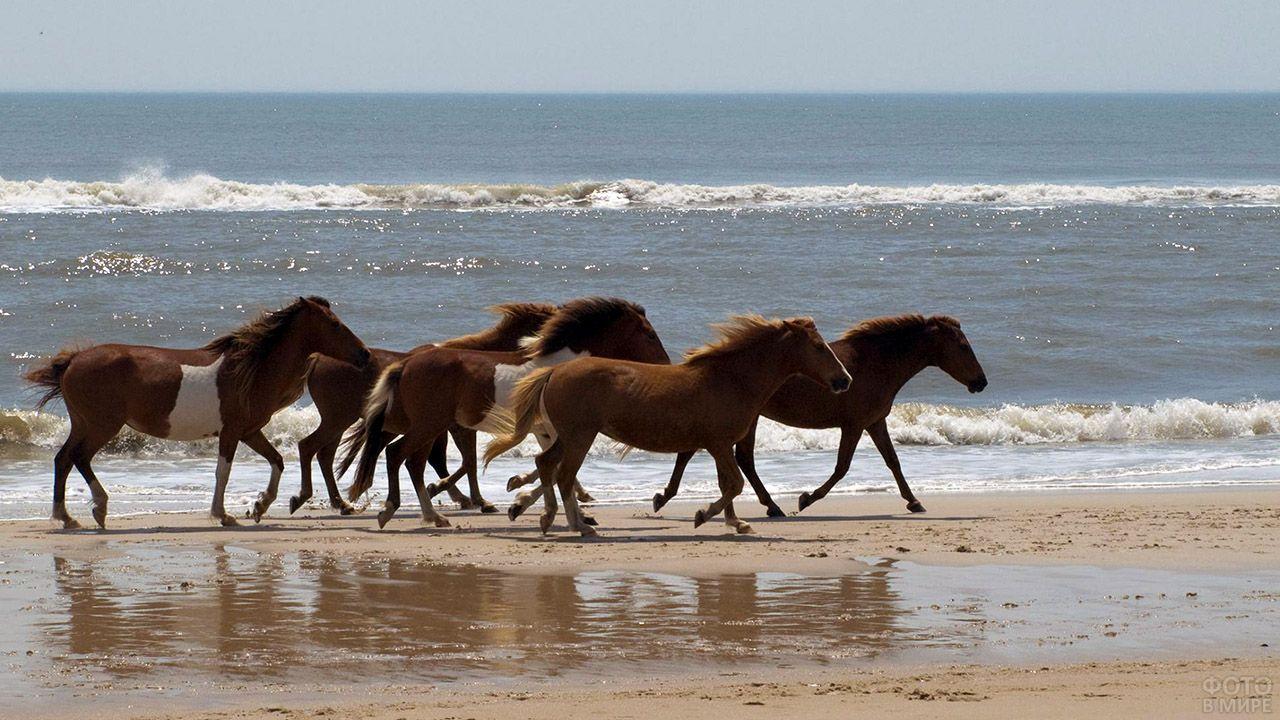 Лошади Пржевальского скачут по мелководью вдоль берега моря