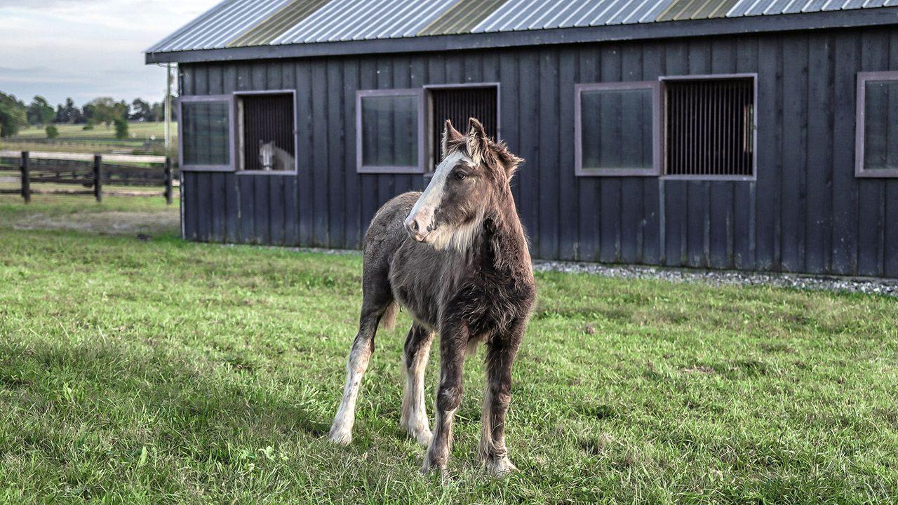 Мохнатый жеребёнок на фоне дощатой конюшни