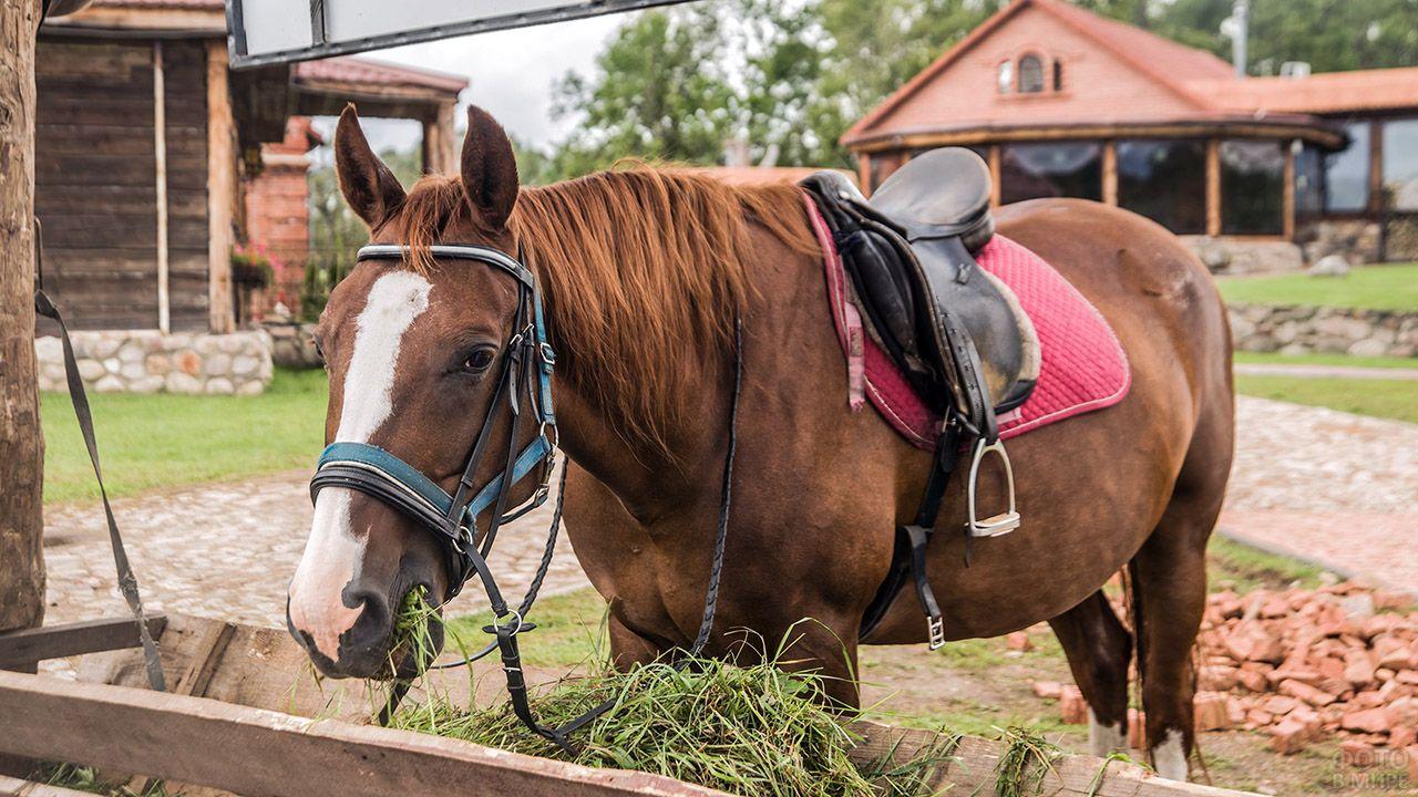 Запряжённая рыжая лошадь жуёт траву на дворе фермы