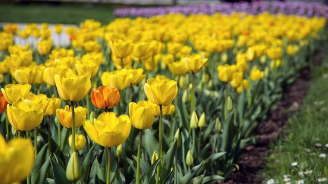 Аккуратная клумба с жёлтыми тюльпанами