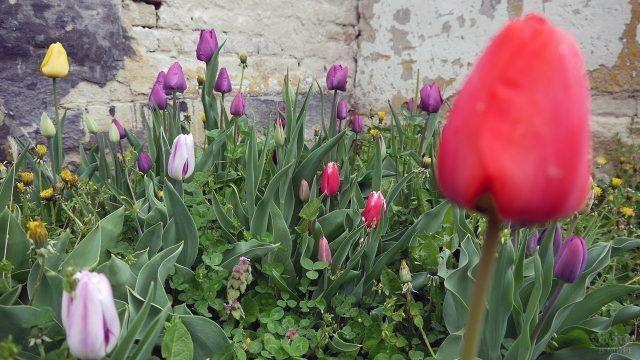 Апрельская клумба с тюльпанами у стены дома