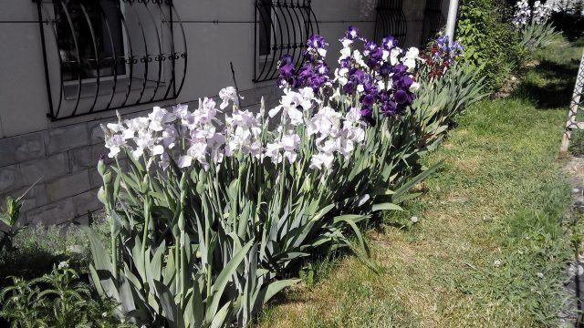 Белые и фиолетовые ирисы на клумбе под окнами дома