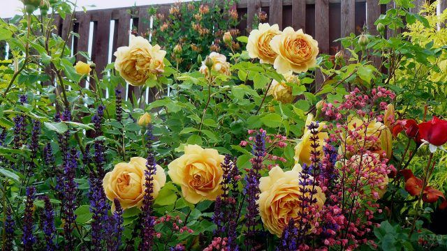 Чайные розы в цветнике у деревянной ограды сада
