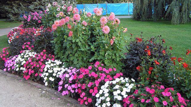 Двухуровневая клумба-бордюр с розовыми кустами бальзамина и георгинами