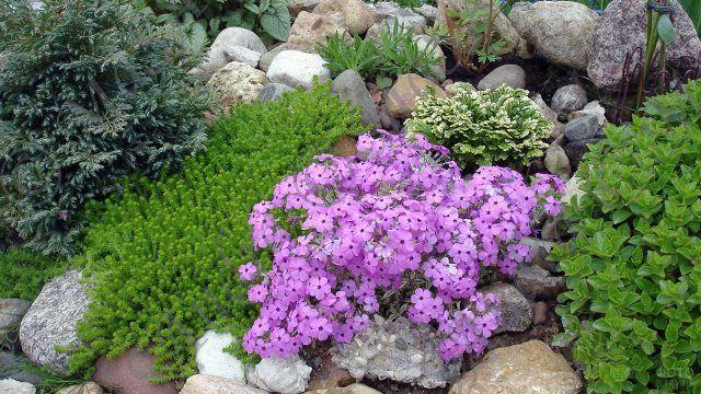Фиолетовые цветы в рокариуме с зеленью
