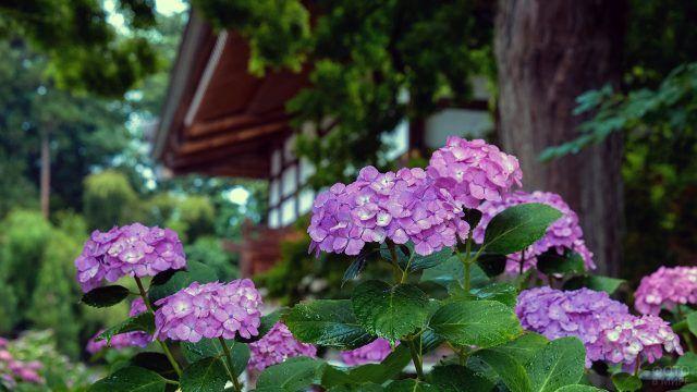 Фиолетовые гортензии под деревом у сельского дома