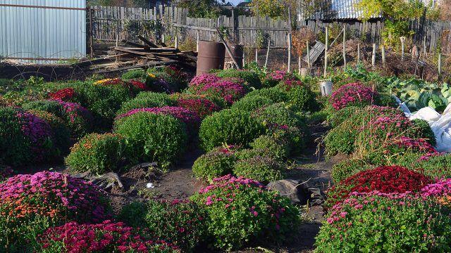 Хризантемы на садовом участке