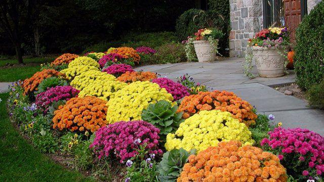 Яркие хризантемы на клумбе перед домом
