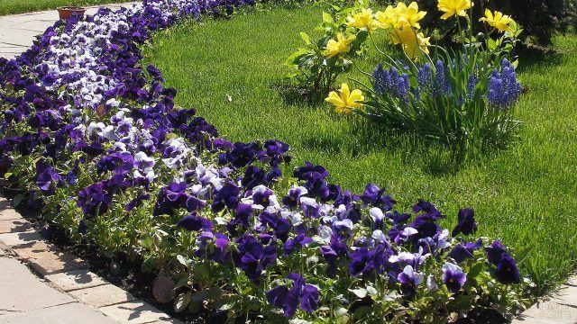 Клумба-бордюр с анютиными глазками двух цветов