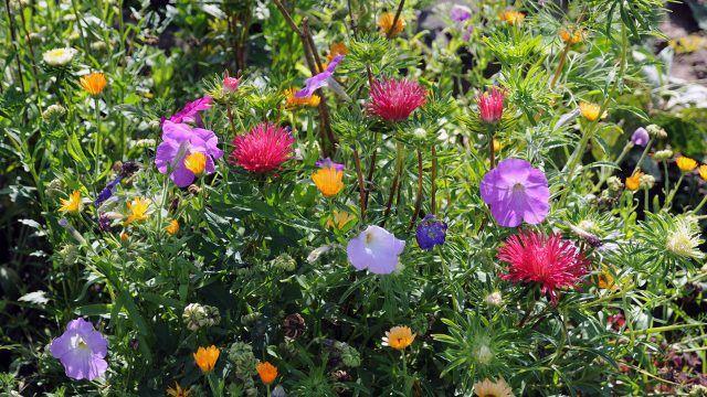 Клумба с астрами ноготками и цветками петунии
