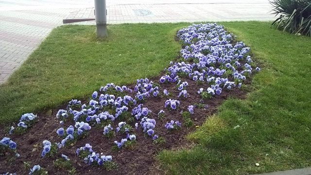 Клумба с голубыми виолами на газоне
