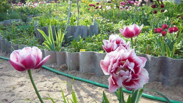 Клумба с махровыми тюльпанами на садовом участке