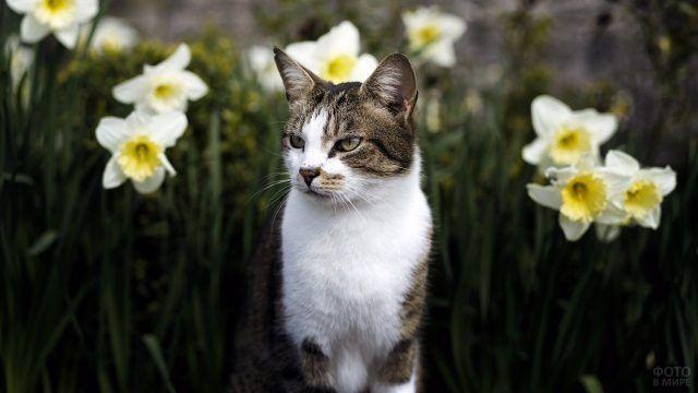 Кот в клумбе с нарциссами