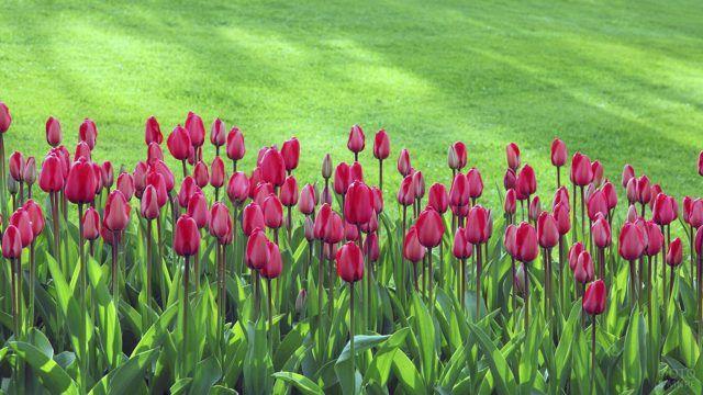Красные тюльпаны на клумбе перед зелёной лужайкой