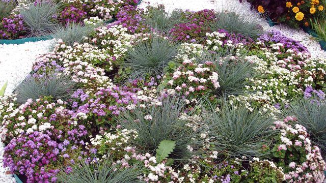 Круглая клумба с луком-шнитт и пёстрыми цветочками