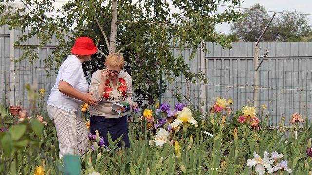 Пенсионерки делятся секретами разведения ирисов на даче