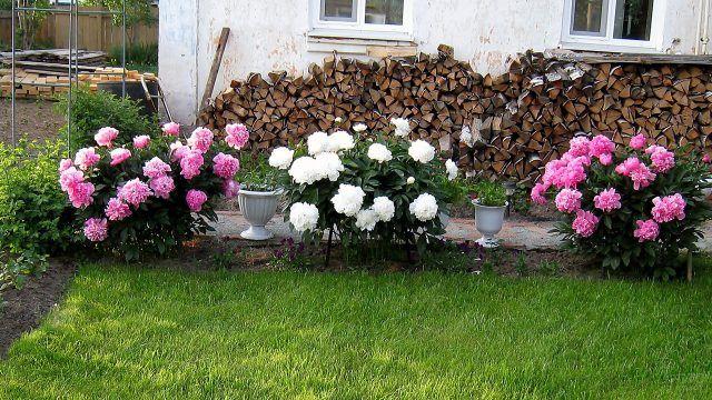 Пионы двух цветов вдоль садовой дорожки у садового дома