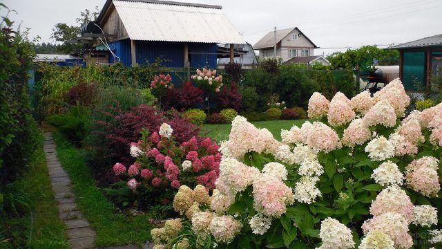 Роскошные гортензии на садовом участке