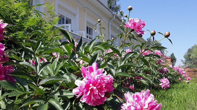 Розовые пионы у здания музея-усадьбы П.И. Чайковского