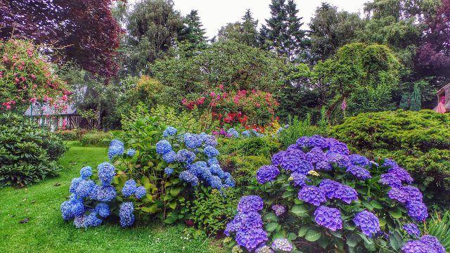 Синие и фиолетовые гортензии в зелёном саду